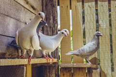 Homing pigeons in wooden coop Royalty Free Stock Photos