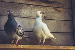 Homing pigeons in wooden loft. Mixed pigeon pair with white German beauty homer male pigeon and grey homing hen in a wooden loft Royalty Free Stock Image