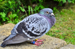 A homing racing pigeon, Columbidae Royalty Free Stock Images