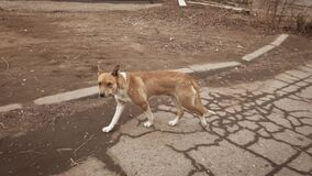 Homless dog attacking the walking pedestrian and retreet