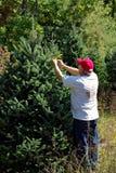 Homme étiquetant des arbres de Noël Photos libres de droits
