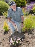 Homme aîné installant l'irrigation par égouttement dans le jardin Images stock