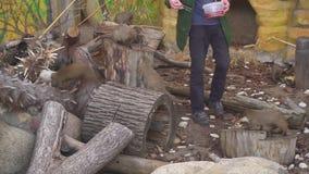 Homme alimentant Mogoose dans le zoo banque de vidéos
