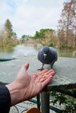 Homme alimentant un pigeon Images stock