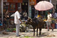 Homme alimentant une vache à rue Images stock