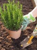 Homme au jardinage, plantant le romarin Photographie stock