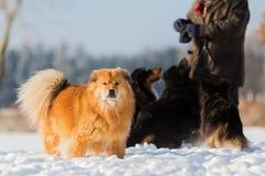Homme avec des chiens dans la neige Images stock