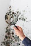 Homme avec la loupe vérifiant le champignon de moule Photo stock
