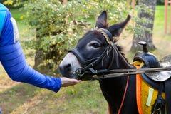 Homme avec la main alimentant un âne Image libre de droits