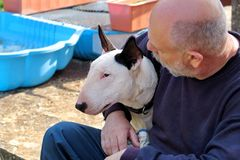 Homme avec le crabot Chien blanc de bull-terrier anglais en compagnie de son propriétaire s'asseyant et appréciant chez le chien  Image libre de droits