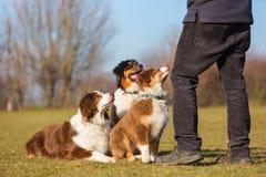 Homme avec trois chiens de berger australiens Photo stock