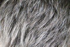 Homme caucasien bel mûr avec les cheveux gris images stock