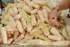Homme choisissant le maïs mûr photos libres de droits