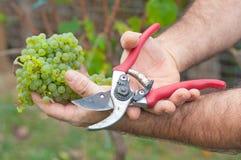Homme coupant les raisins blancs dans le vignoble Image stock