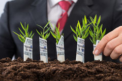 Homme d'affaires jugeant des jeunes arbres couverts de dollar américain Photo libre de droits
