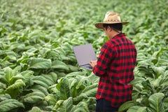 Homme d'agriculteur avec la position d'ordinateur portable sur le tabac de champ, concept d'examiner la croissance du tabac images stock