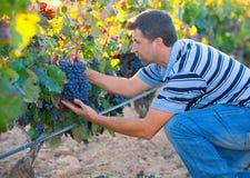 Homme d'agriculteur dans des feuilles d'automne de récolte de vignoble dans méditerranéen Photos stock