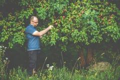 homme dans la forêt prenant des pommes d'un arbre image stock