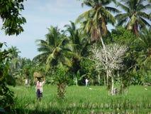 Homme dans les rizières Images stock