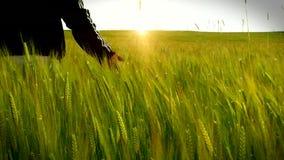 Homme de marche de champ de blé banque de vidéos