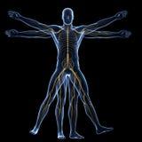 Homme de Vitruvian - système nerveux illustration stock