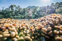 Homme des grains de café de séchage de la Thaïlande photographie stock