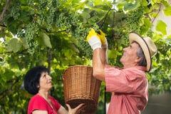 Homme et femme travaillant dans le vignoble Photographie stock libre de droits