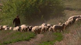Homme et troupeau des moutons banque de vidéos