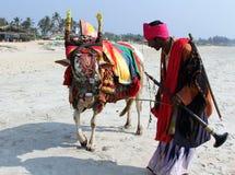 Homme indien avec la vache indienne sainte décorée du tissu et des bijoux colorés sur la plage de Goa du sud Image stock