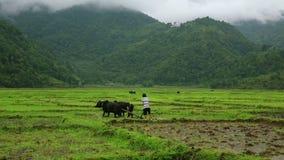 Homme labourant dans la rizière banque de vidéos