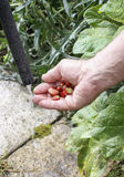 Homme lavant les fraisiers communs Photos stock