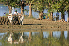 Homme local travaillant à un champ de ferme près du lac, Amarapura, Myanmar Photographie stock