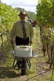 Homme moissonnant la vigne Photographie stock