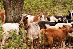 Homme perturbé d'animaux de ferme de troupeau. Images libres de droits