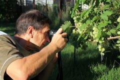 Homme photographiant le groupe de raisins dans le jardin Photographie stock libre de droits