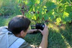 Homme photographiant le groupe de raisins dans le jardin Images stock