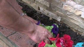 Homme plantant des fleurs de pétunia banque de vidéos