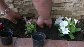 Homme plantant des fleurs de pétunia clips vidéos