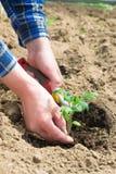 Homme plantant des jeunes plantes de tomate dans la terre Photo libre de droits