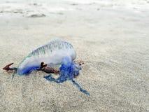 Homme portugais des méduses bleues de guerre échouées sur la plage photo libre de droits