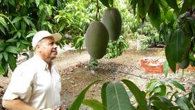 Homme rassemblant le fruit de mangue manuellement en branche clips vidéos