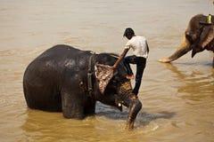 Homme s'élevant baignant le visage de l'éléphant Photographie stock libre de droits