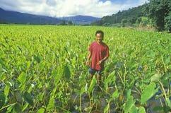 Homme se tenant en Taro Field, Kauai, Hawaï Photos libres de droits