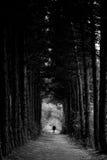 Homme solitaire marchant entre les arbres grands de conifère Images stock