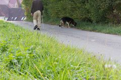 homme supérieur avec le bâton de marche et le chien de berger allemand à coté Photo stock