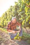 Homme supérieur examinant les raisins dans le vignoble images stock