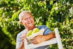 Homme supérieur heureux avec la récolte de pomme Images stock