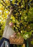 Homme supérieur moissonnant des raisins dans le vignoble Images libres de droits