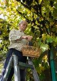 Homme supérieur moissonnant des raisins dans le vignoble Photos stock