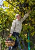 Homme supérieur moissonnant des raisins dans le vignoble Photographie stock